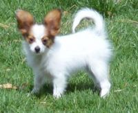 Papillon Puppies for sale in Tampa, FL, USA. price: NA