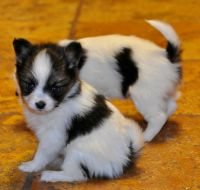 Papillon Puppies for sale in New Middletown, IN, USA. price: NA