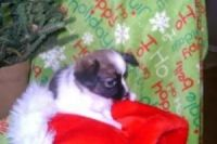 Papillon Puppies for sale in Salt Lake City, UT, USA. price: NA
