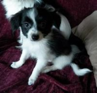 Papillon Puppies for sale in Seattle, WA, USA. price: NA