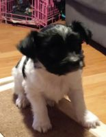 Papillon Puppies for sale in Aumsville, OR 97325, USA. price: NA
