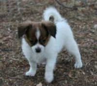 Papillon Puppies for sale in Phoenix, AZ, USA. price: NA