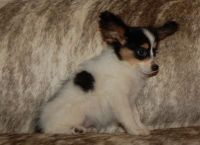 Papillon Puppies for sale in Brownton, MN 55312, USA. price: NA