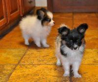 Papillon Puppies for sale in Kansas City, KS, USA. price: NA