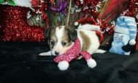 Papillon Puppies for sale in Houston, TX, USA. price: NA