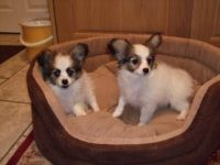 Papillon Puppies for sale in Honolulu, HI, USA. price: NA