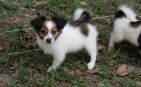 Papillon Puppies for sale in Stamford, CT, USA. price: NA