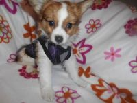 Papillon Puppies for sale in Detroit, MI, USA. price: NA