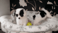 Papillon Puppies for sale in Albuquerque, NM, USA. price: NA