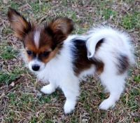 Papillon Puppies for sale in Beaver Creek, CO 81620, USA. price: NA