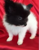 Papillon Puppies for sale in Bakersfield, CA, USA. price: NA