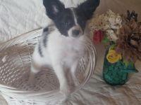 Papillon Puppies for sale in Port Huron, MI, USA. price: NA