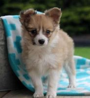 Papillon Puppies for sale in Grand Prairie, TX, USA. price: NA