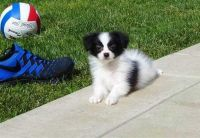 Papillon Puppies for sale in East Lansing, MI, USA. price: NA