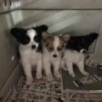 Papillon Puppies for sale in Sussex, NJ 07461, USA. price: NA