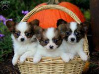 Papillon Puppies for sale in Miami, FL, USA. price: NA