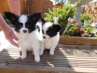 Papillon Puppies for sale in El Paso, TX, USA. price: NA