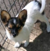 Papillon Puppies for sale in Alma Center, WI 54611, USA. price: NA