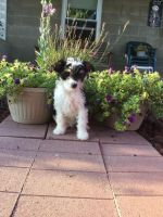 Papillon Puppies for sale in Canton, OH, USA. price: NA