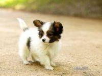 Papillon Puppies for sale in Alum Bridge, WV 26321, USA. price: NA