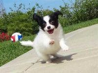 Papillon Puppies for sale in Omaha, NE, USA. price: NA