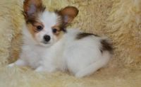 Papillon Puppies for sale in Austin, TX, USA. price: NA
