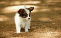 Papillon Puppies for sale in St. Louis, MO, USA. price: NA