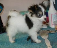 Papillon Puppies for sale in St Pete Beach, FL, USA. price: NA