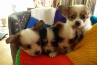 Papillon Puppies for sale in Minneapolis, MN, USA. price: NA