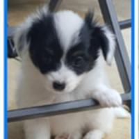 Papillon Puppies for sale in Modesto, CA, USA. price: NA