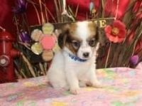 Papillon Puppies for sale in Los Angeles, CA, USA. price: NA