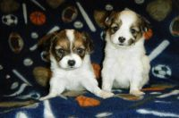 Papillon Puppies for sale in Spokane, WA, USA. price: NA