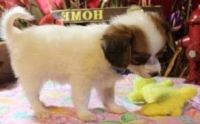 Papillon Puppies for sale in Baywood-Los Osos, CA 93402, USA. price: NA