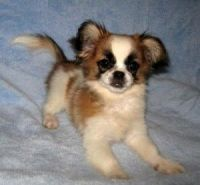 Papillon Puppies for sale in Jackson, MS, USA. price: NA