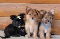Papillon Puppies for sale in Akeley, MN 56433, USA. price: NA
