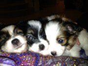 Papillon Puppies for sale in Rancho Santa Margarita, CA, USA. price: NA
