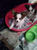 Papillon Puppies for sale in Los Angeles, CA 90005, USA. price: NA