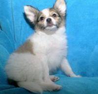 Papillon Puppies for sale in California Oaks Rd, Murrieta, CA 92562, USA. price: NA