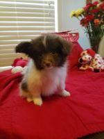 Papillon Puppies for sale in Trenton, MI 48183, USA. price: NA