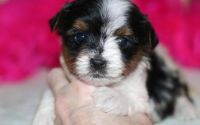 Papillon Puppies for sale in Milwaukee, WI, USA. price: NA