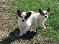 Papillon Puppies for sale in Corydon, IN 47112, USA. price: NA
