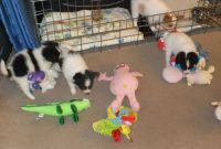Papillon Puppies for sale in California St, San Francisco, CA, USA. price: NA