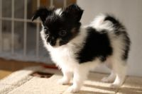 Papillon Puppies for sale in Philadelphia, PA, USA. price: NA