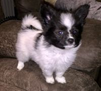 Papillon Puppies for sale in Louisville, KY, USA. price: NA