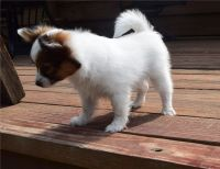 Papillon Puppies for sale in San Jose, CA 95113, USA. price: NA