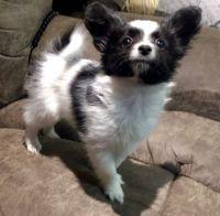 Papillon Puppies for sale in Escondido, CA, USA. price: NA