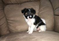 Papillon Puppies for sale in Boston, MA, USA. price: NA