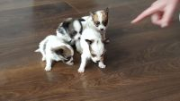 Papillon Puppies for sale in Dallas, TX, USA. price: NA