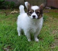 Papillon Puppies for sale in Tecate, CA 91987, USA. price: NA