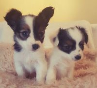 Papillon Puppies for sale in Jacksonville, FL, USA. price: NA